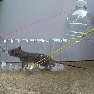 Trampas Caseras para Ratas