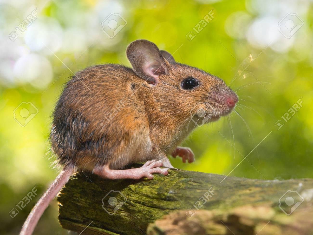 Como combatir plaga de ratones de campo