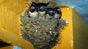 como quitar un nido de golondrinas
