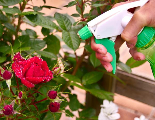 Fungicida casero para rosales